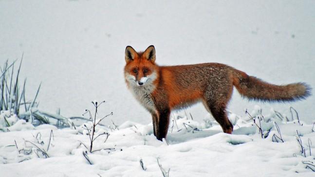 fox fjender sædvæske